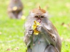3336286-a-monkey-eating-banana-on-the-pasture[1]